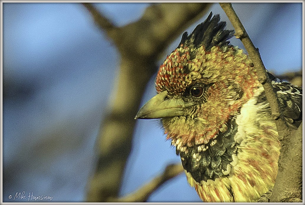 portrait crested barbet