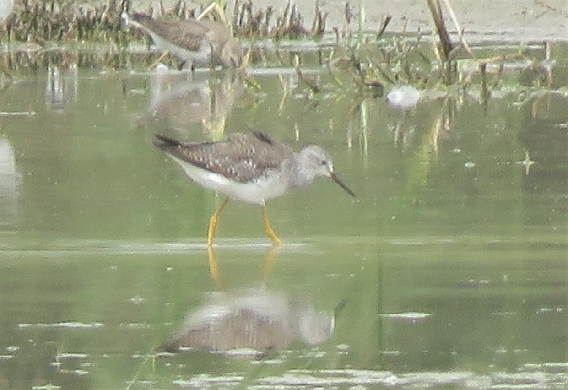 Record shot of a vagrant Lesser Yellowlegs