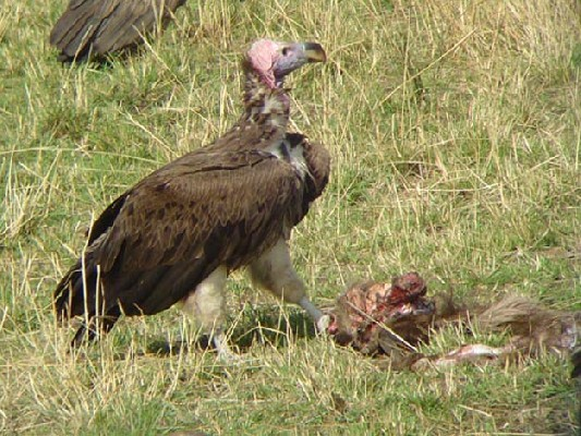 Lappet-faced Vulture.