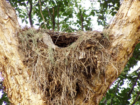 Hamerkop nest under construction