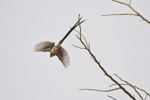 Pin-Tailed Whydah at take-off