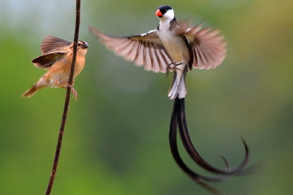 Pin-tailed Whydahs