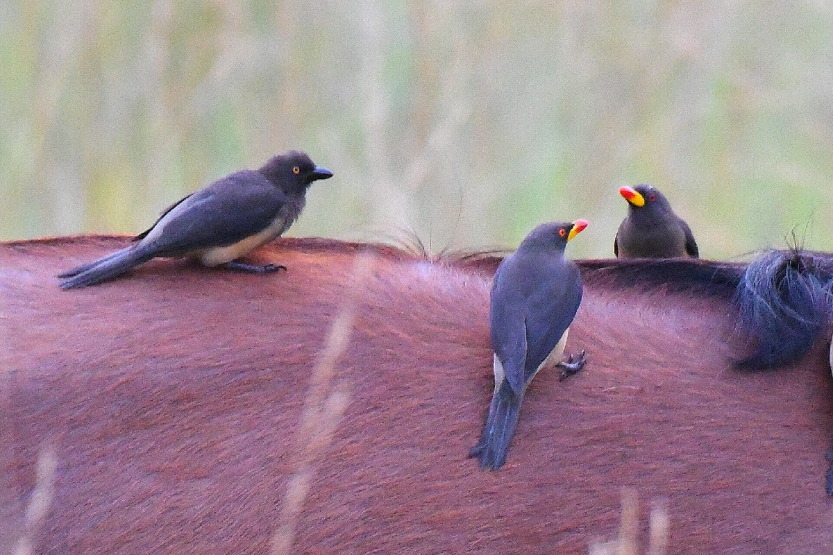 Yellow-billed Oxpeckers, outside from the known range