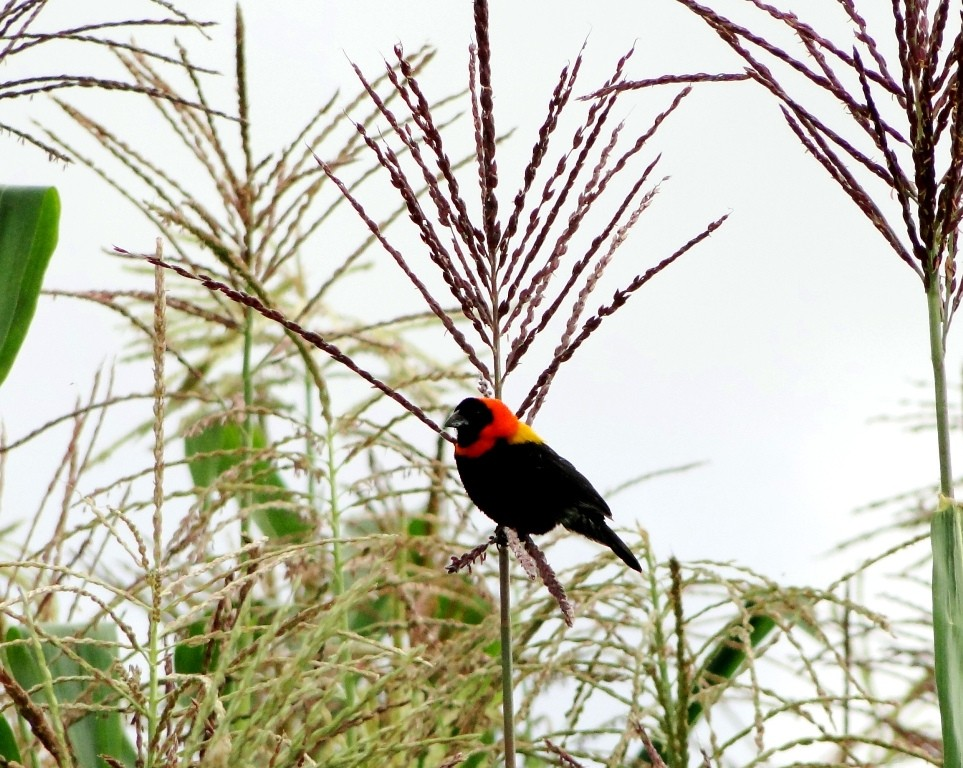 Black bishop perched in a field of corn plantations