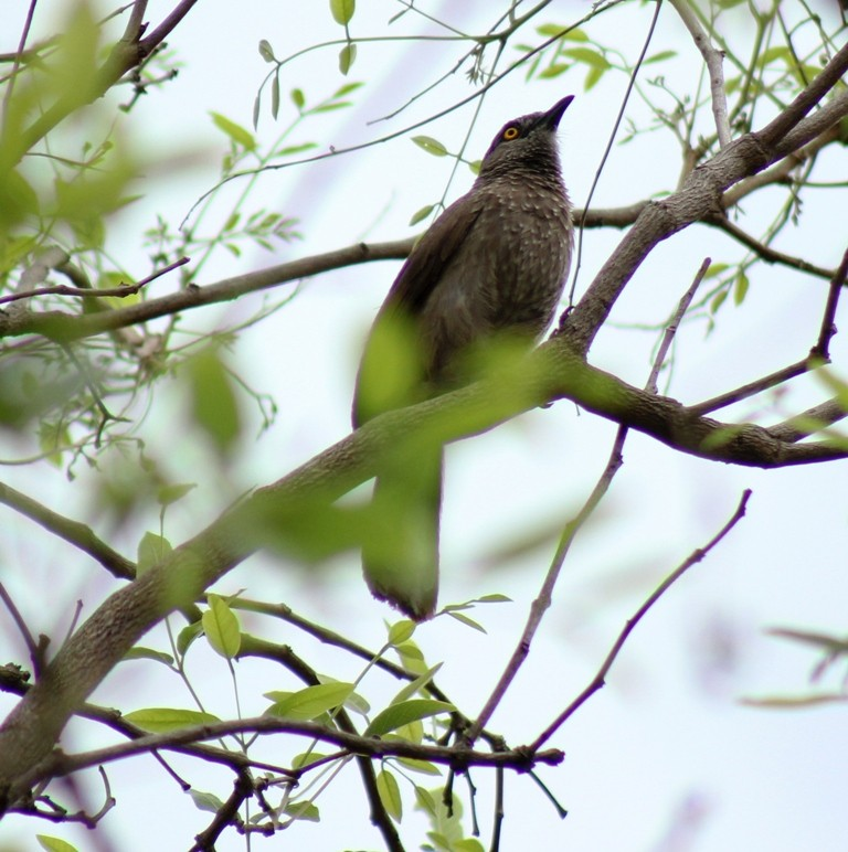 Brown babbler in a tree