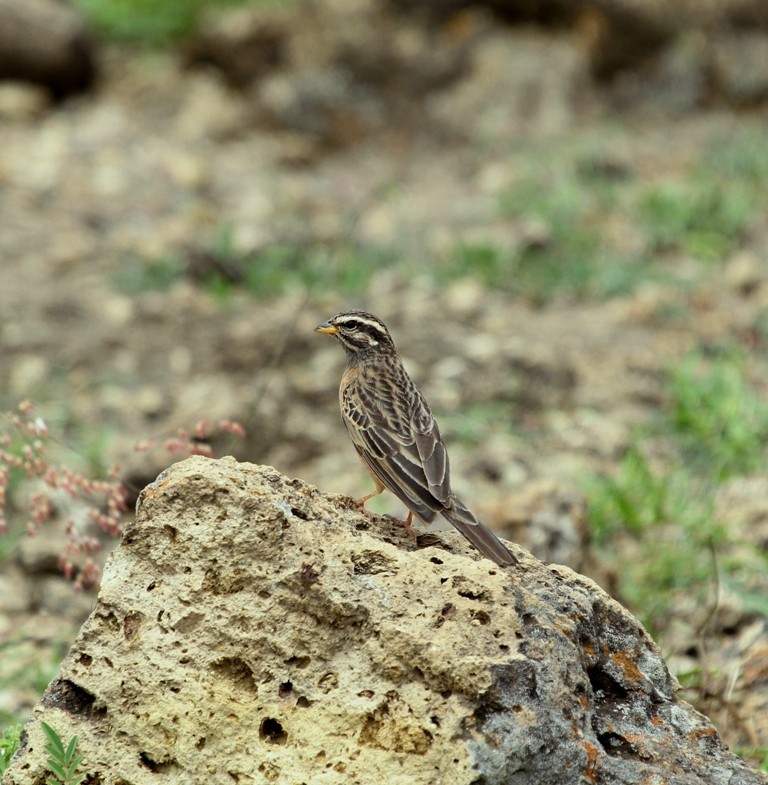 Cinnamon-breasted bunting on a rock near lake Langano