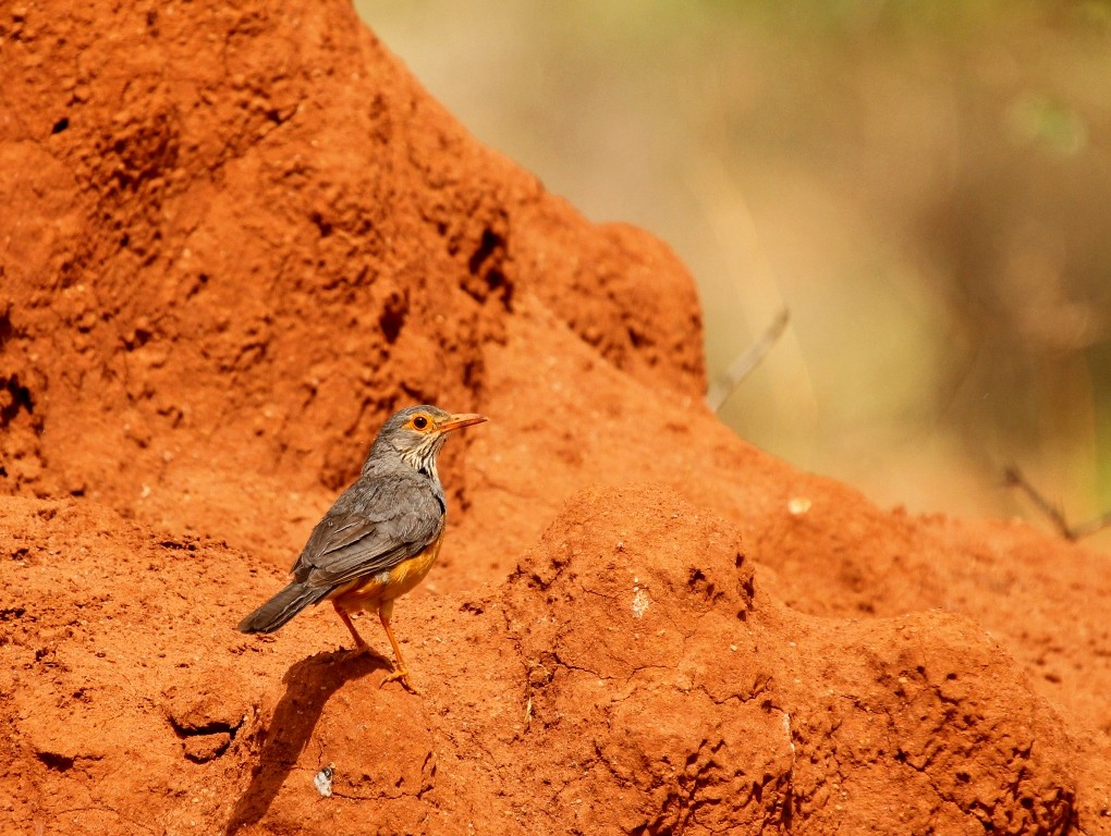 Bare-eyed thrush on termite mound