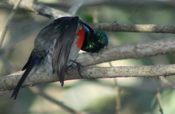 Greater Double-collared Sunbird preening