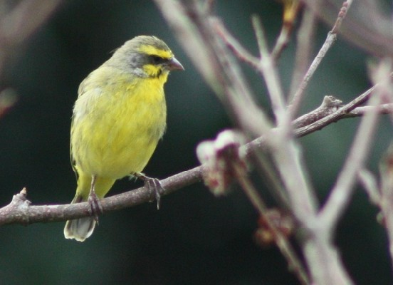 Yellow-eyed Canary 870