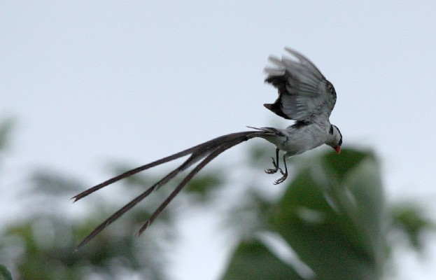 Male Pin-tailed Whydah in Flight