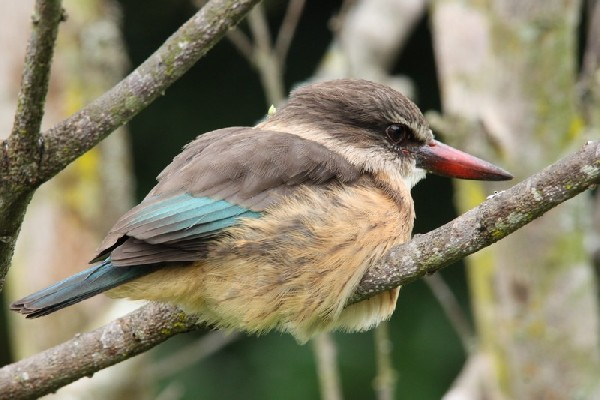 Juvenile Brown-Hooded Kingfisher