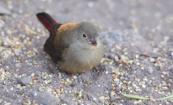 Juvenile Red-billed Firefinch