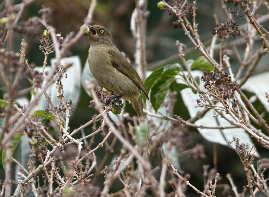 Adult Sombre Greenbul