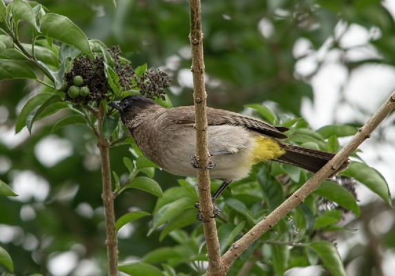 Dark-Capped Bulbul about to feed
