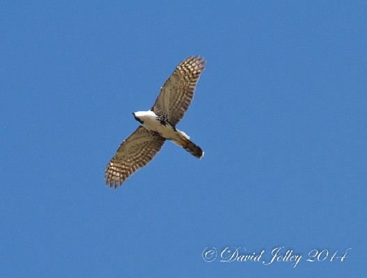 Black Sparrowhawk in flight