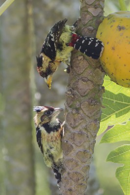 Crested Barbet ready to feed juvenile