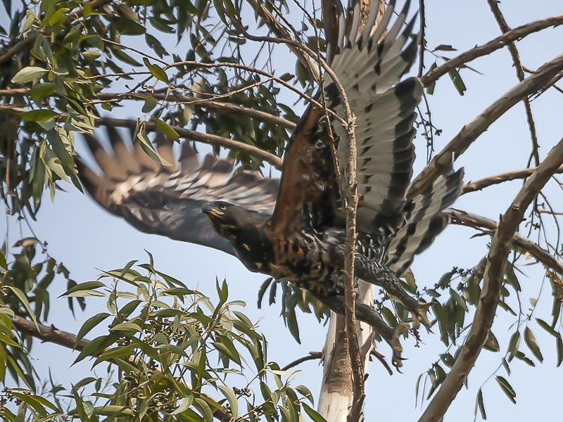 Crowned Eagle taking off in a tree