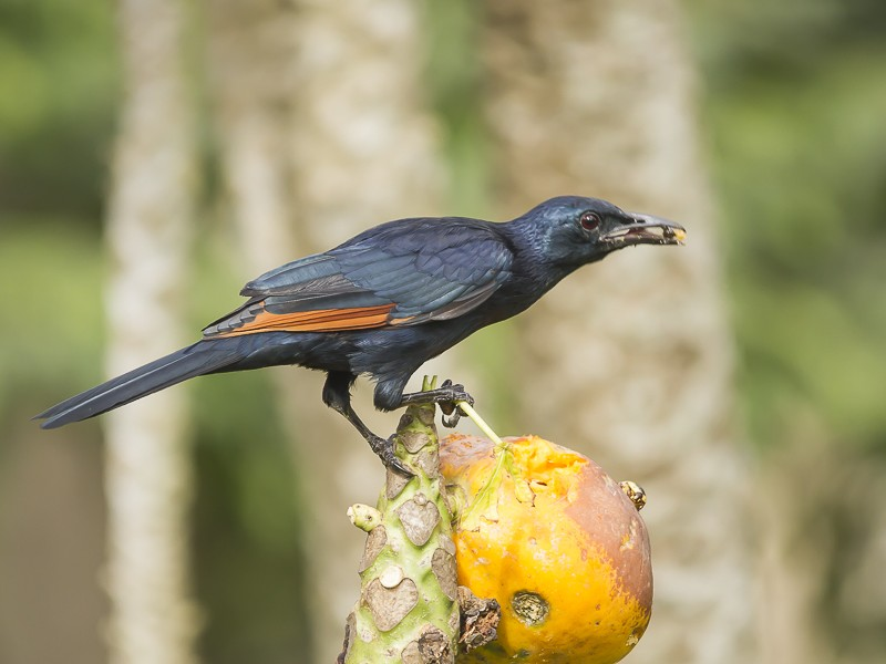 Red-Winged Starling Male