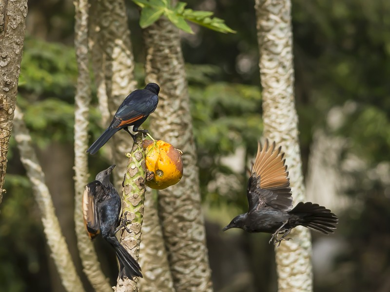 Red-winged Starlings at a Paw-Paw