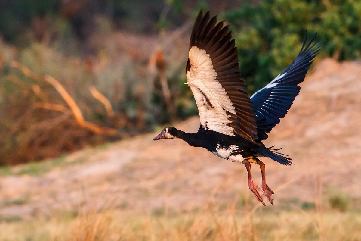 Oca armata in volo