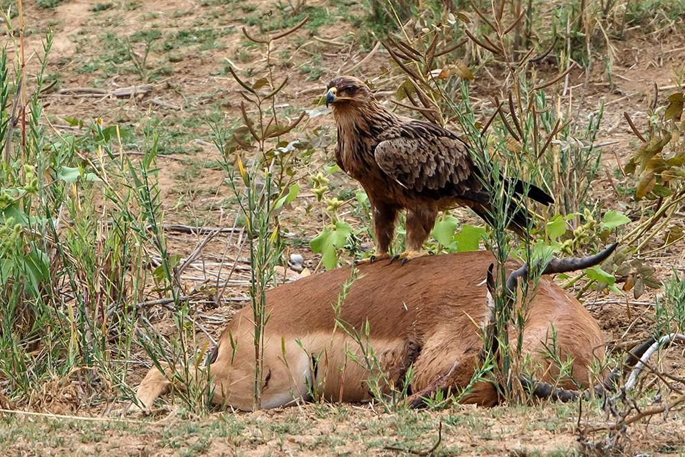 Tawny Eagle scavenging on dead impala carcass on a sand bank in Letaba River