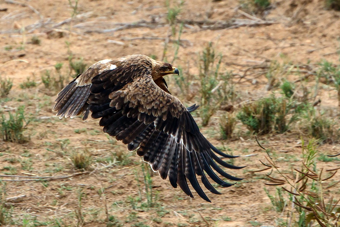 Tawny Eagle taking off from a sand bank in Letaba River