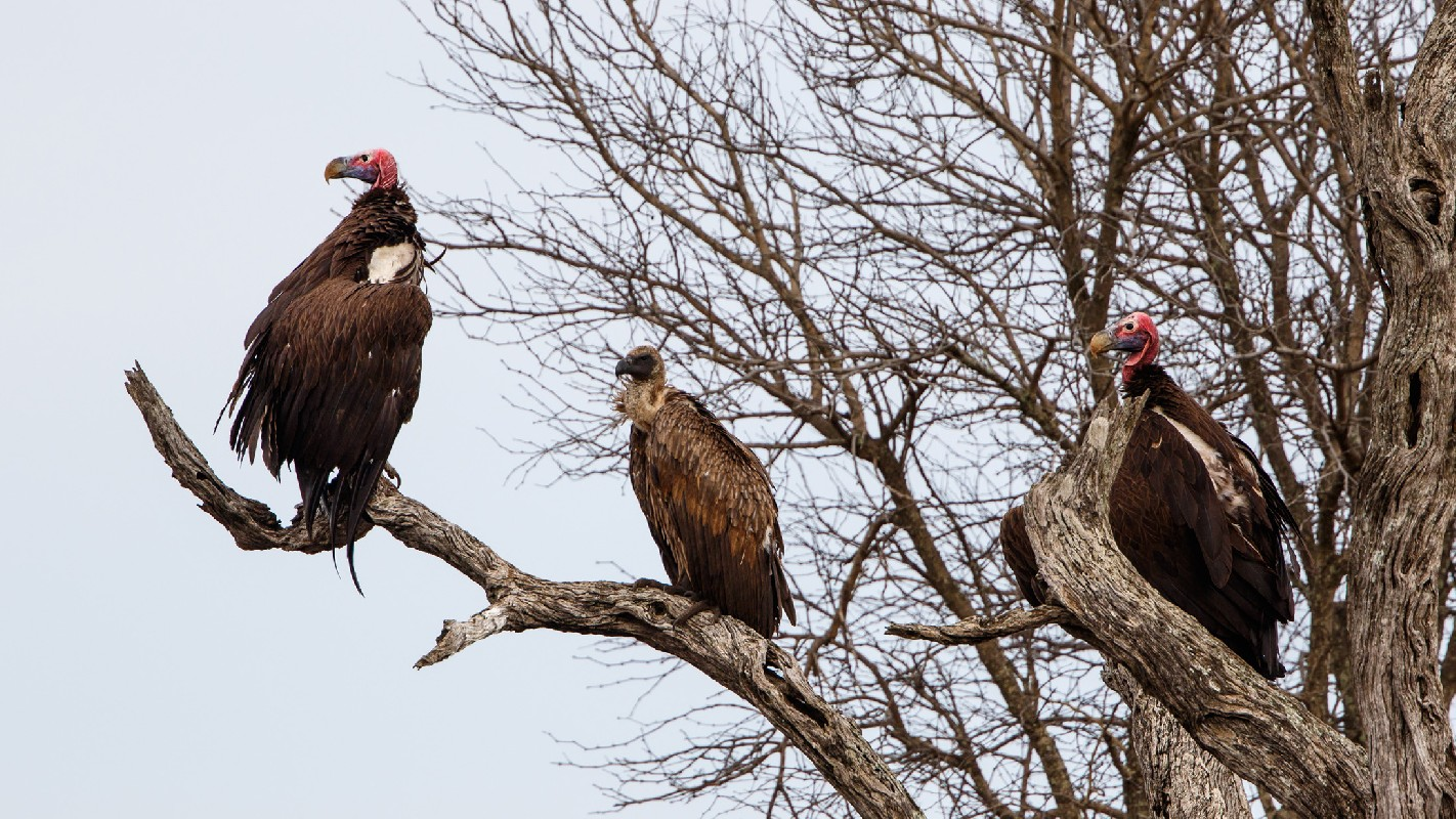 Lappet-faced Vultures with White-backed Vulture
