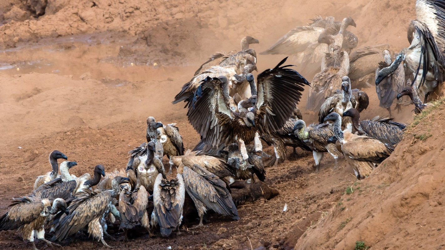 White-backed Vultures feeding on young Buffalo carcass