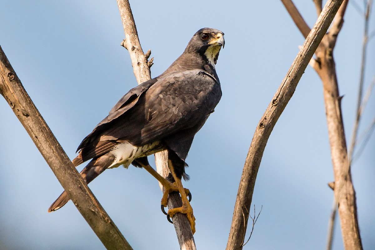 Black Sparrowhawk