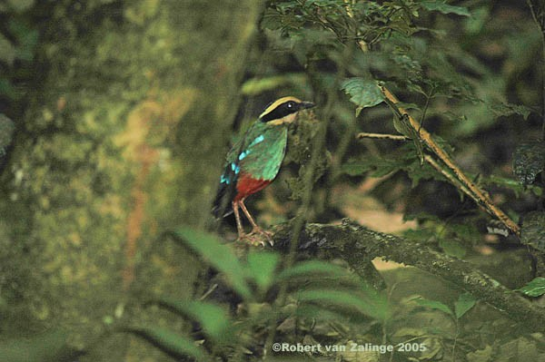 Green-breasted Pitta with nesting material 2