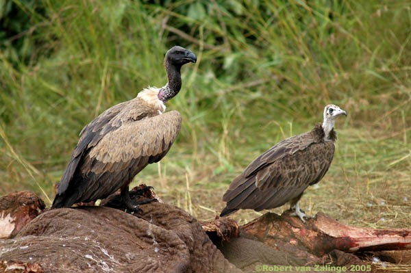 African Whitebacked and Hooded Vulture on Elephant Carcass