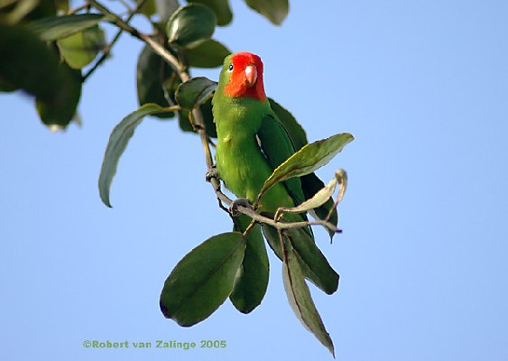 Red-headed Lovebird 2