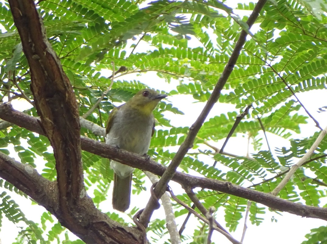 Falkenstein's Greenbul