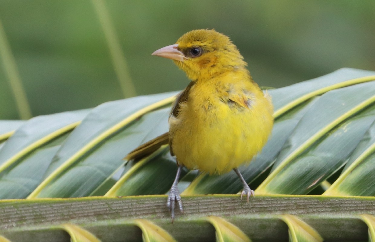Juvenile Black-necked Weaver