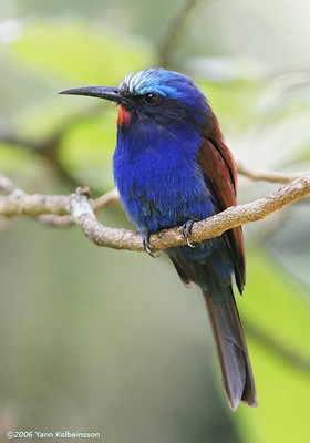 Blue-headed Bee-eater