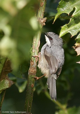 White-chinned Prinia