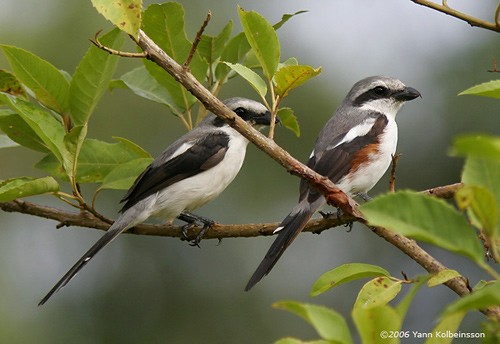 Mackinnon's Shrikes