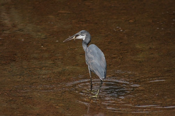 Western Reef Heron with Fish