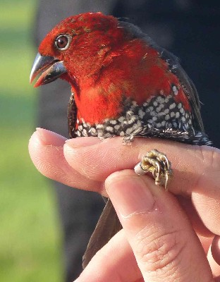 Red-headed Bluebill in hand