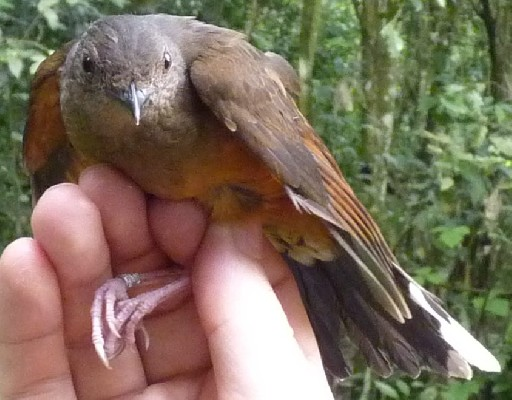 White-tailed Ant-Thrush (Rufous Thrush) in hand