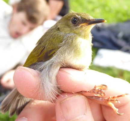 Olive-green Camaroptera in hand