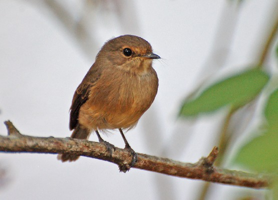 African Dusky Flycatcher on display