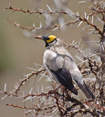 Wattled starling in whistling thorn tree