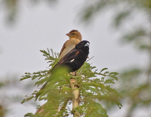 Pair of White-winged widowbirds