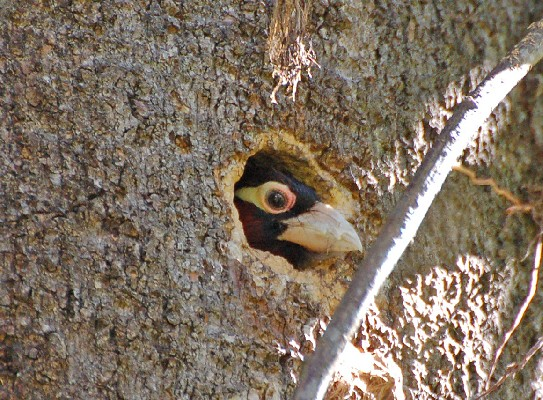 Double-toothed Barbet  Looking out from nest
