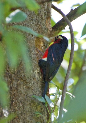 Double-toothed Barbet  At the nest hole