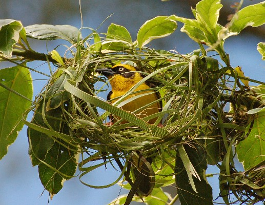 Baglafecht Weaver - Male weaving a nest
