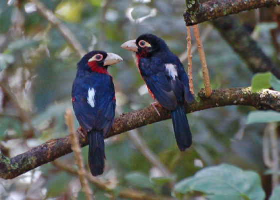 Double-toothed Barbet Pair in deep shade