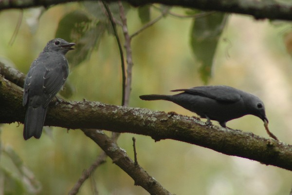 grey cuckoo-shrike with caterpillar
