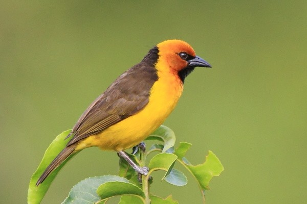 Black-necked Weaver - Wiklacz czarnogardly